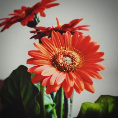 Relaxing Taking Photos ... ItsSunday ... Orange Flower Flowerpower EyeEm Flower Flowerlovers Flower Collection Have a nice day everyone!!! :)