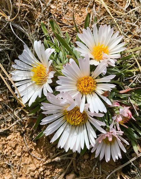 """""""First Wildflowers Of Spring"""" With an unusually dry Winter in the Central Highlands Of New Mexico, it is much appreciated eye candy as the Stemless Daisies begin to bloom from the dry, brown landscape. New Mexico Photography New Mexico Wildflowers In Bloom Wildflowers Wildflower Flower Flowering Plant Plant Fragility Freshness White Color Close-up Daisy Yellow"""