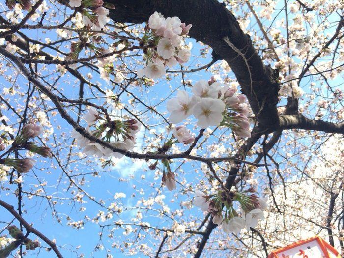 Sakura Kyoto Sakura Sky Kyoto Sakura 2018 Cherry Blossoms Kyoto,japan Flower Blossom Tree Fragility Branch Springtime Growth No People
