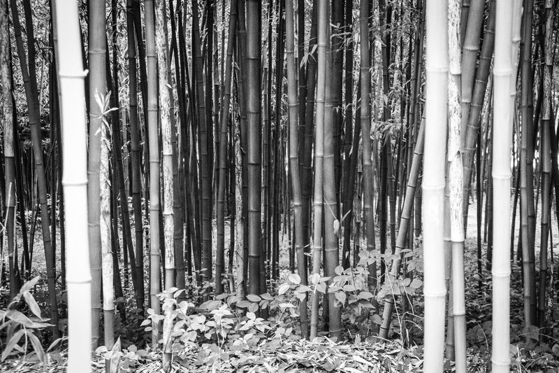 Bamboo can be found everywhere in Seoul and your eyes can get lost if you look just long enough.. Abundance Bamboo - Plant Bamboo Grove Beauty In Nature Day Forest Growth Hazy  If Trees Could Speak Nature No People Outdoors Scenics Tranquility Tree Tree Trunk