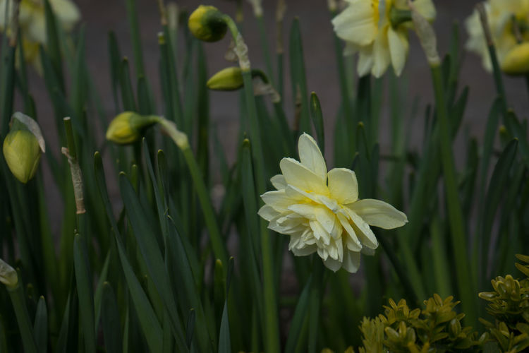 Beauty In Nature Blade Of Grass Close-up Daffodil Day Flower Flower Head Flowering Plant Focus On Foreground Fragility Freshness Green Color Growth Inflorescence Nature No People Outdoors Petal Plant Vulnerability  White Color Yellow