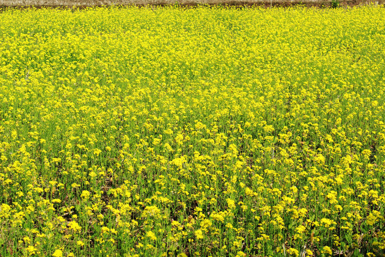 mustard plant and flower agriculture Yellow Agriculture Beauty In Nature Field Growth Flower Rural Scene Landscape Plant Oilseed Rape Land Flowering Plant Crop  Farm Scenics - Nature Abundance Freshness No People Tranquility Nature Springtime Outdoors Flowerbed