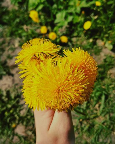 Flower Human Hand Human Body Part One Person Dandelion Close-up Flower Head Nature Outdoors Holding Plant Fragility Personal Perspective Beauty In Nature Real People Day Yellow Freshness Focus On Foreground Uncultivated