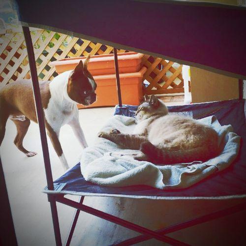 Mojo!❤️ I Love My Dog❤ I Love My Boston Terrier My Cat I Love My Cat Stand Off Confrontation
