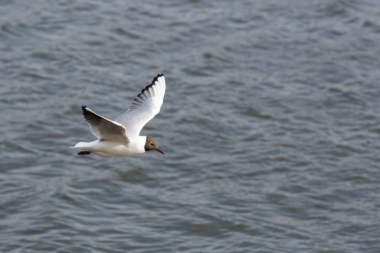 Black-headed gull flying over river on sunny day