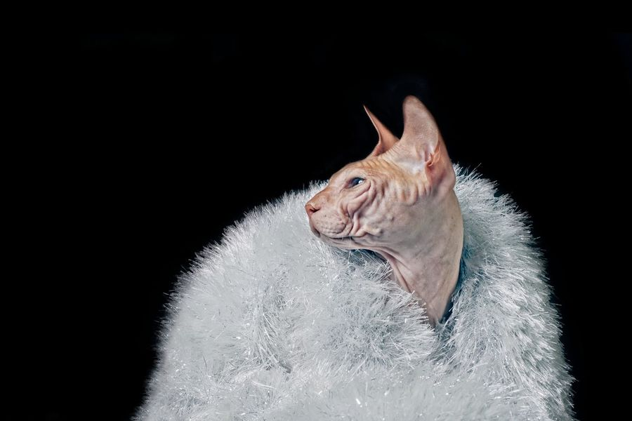 Don´t call me a diva 😁 Portrait Of a sphynx cat wearing tinsel - isolated on black background. Cats Of EyeEm FUNNY ANIMALS Animal Animal Head  Animal Theme Animal Themes Black Background Cat Close-up Copy Space Domestic Domestic Animals Domestic Cat Indoors  Looking Looking Away No People One Animal Pentax Purebred Cat Sphynx Sphynx Cat Studio Shot Vertebrate White Color