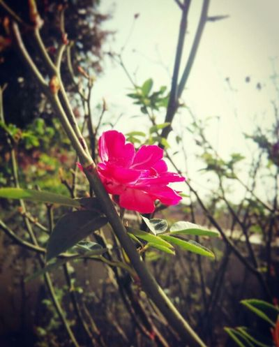 Beautiful Rose RedishPink Fresh Clicked By Redmi 2 EyeEm Nature Lover No Dslr No Problem Fan Of Huawei P9