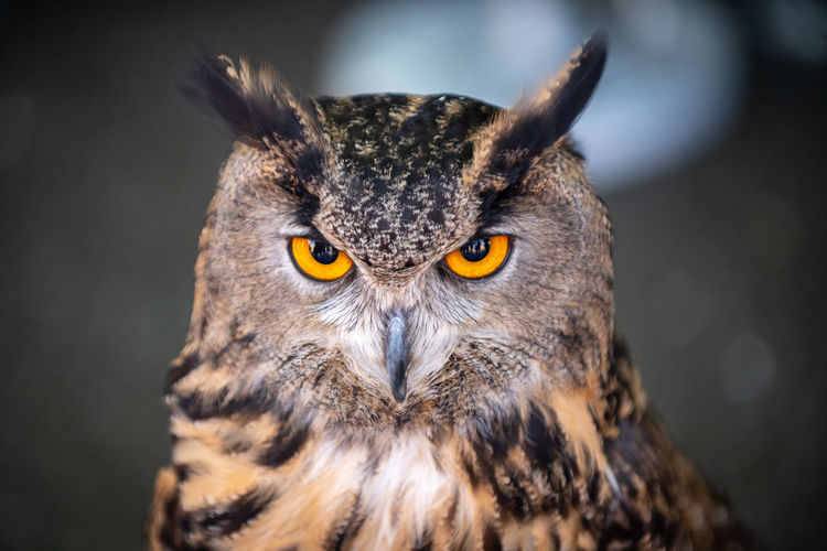 the eyes have it. Owl Bird Of Prey Portrait Bird Closing Black Background Looking At Camera Eye Multi Colored Close-up Animal Eye Animal Head  Animal Ear Yellow Eyes HEAD