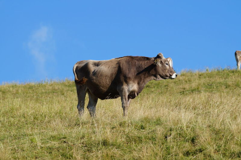 Cattle on field against clear blue sky