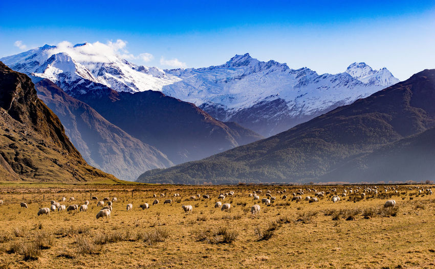 Flock of sheep grazing on field against mountains