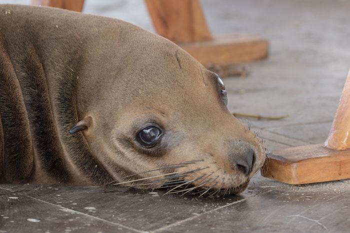 Animal Themes Animal Wildlife Day Galapagos Mammal No People One Animal Outdoors Sea Lion Seal - Animal Seelöwe