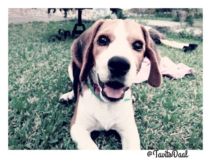 Beagle Jugando Con Donna Donna Lour