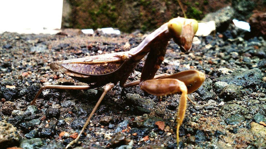 Macro Photography Praying Mantis