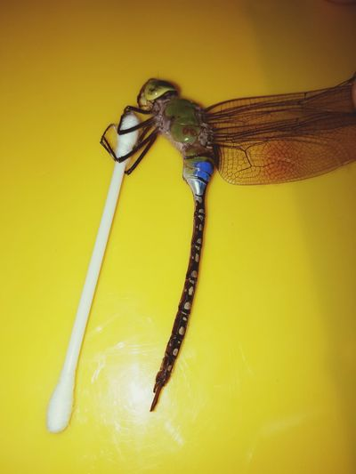 Saw this Dragonfly last night! 😚 One Animal Yellow Insect Animal Wildlife Animal Body Part Animal Themes No People Animals In The Wild Yellow Background Close-up Nature Outdoors First Eyeem Photo