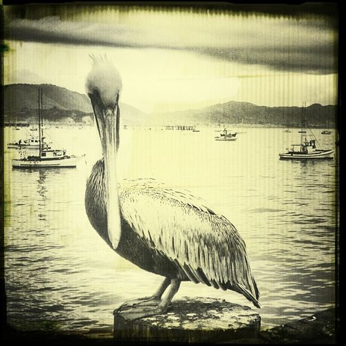 Sea Bird Ocean Pelican