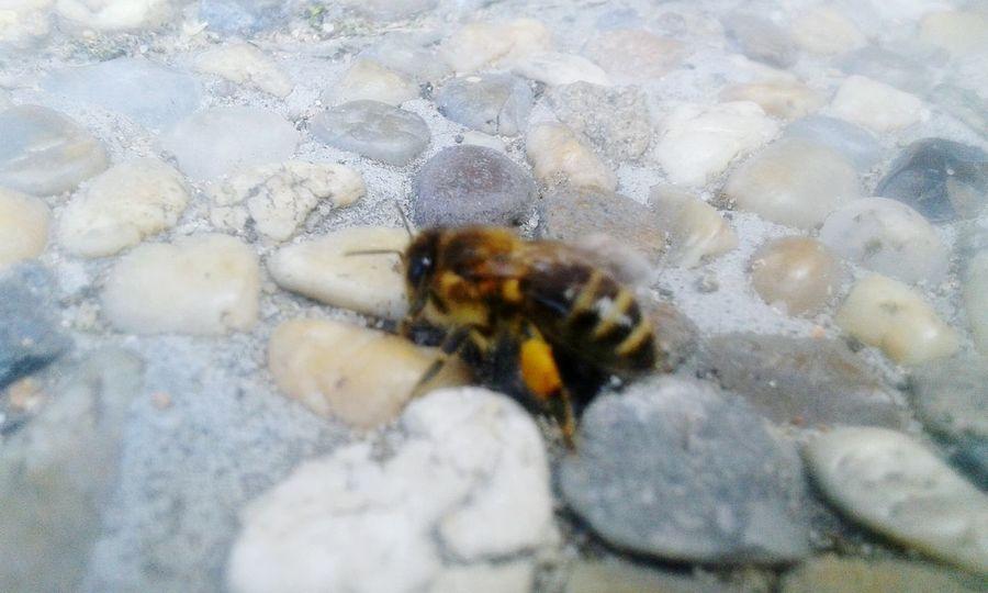 Bee Nofocus