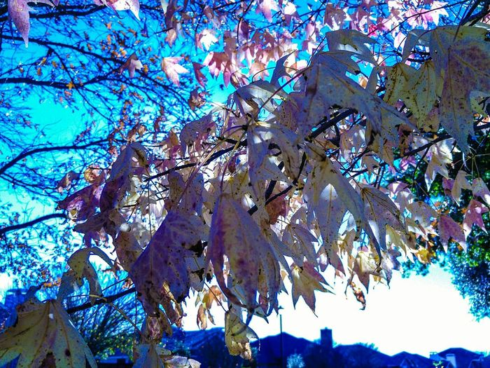 Leaves!! I wish I lived someplace where winter happened. Leaves Fall Neverendingautumn Colors Sun Taking Photos Check This Out Trees