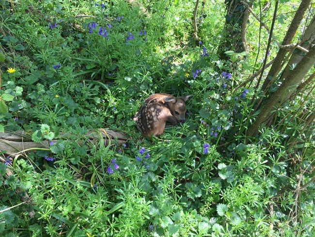 Deer Bambi Fawn Nature Beauty In Nature Sleepytime Tranquil Scene WoodLand Forest Outdoors Non-urban Scene Naturelover Blue Bells Grassflowers