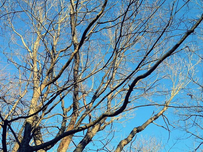 Low Angle View Tree Blue Branch Sky Nature Bare Tree No People Beauty In Nature Sunlight Outdoors Clear Sky Day Tranquility Close-up
