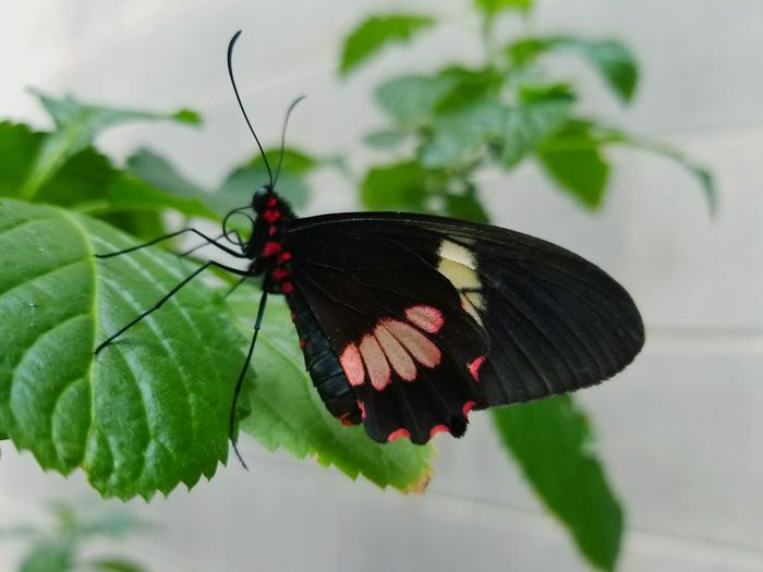 EyeEm Selects Full Length Leaf Butterfly - Insect Red Insect Perching Close-up Animal Themes Plant Mating Moth Spread Wings Animal Antenna Animal Wing Butterfly Flapping Pollination