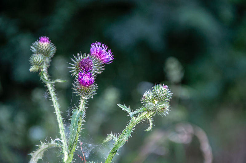 Disteln Green Nature Nature Photography Thistles Werne A.d. Lippe Beauty In Nature Close-up Distel Distelblüte Flower Flower Collection Flower Head Flower Heads Flowerporn Flowers Focus On Foreground Nature_collection Naturephotography Purple Purple Flower Purple Flowers Thistle Thistle Flower Thistleheads