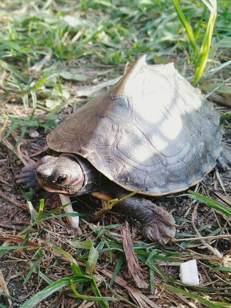 Animal Themes One Animal High Angle View Animals In The Wild Field Wildlife Nature Close-up No People Outdoors Fragility Baby Tortoise Gastropod Day