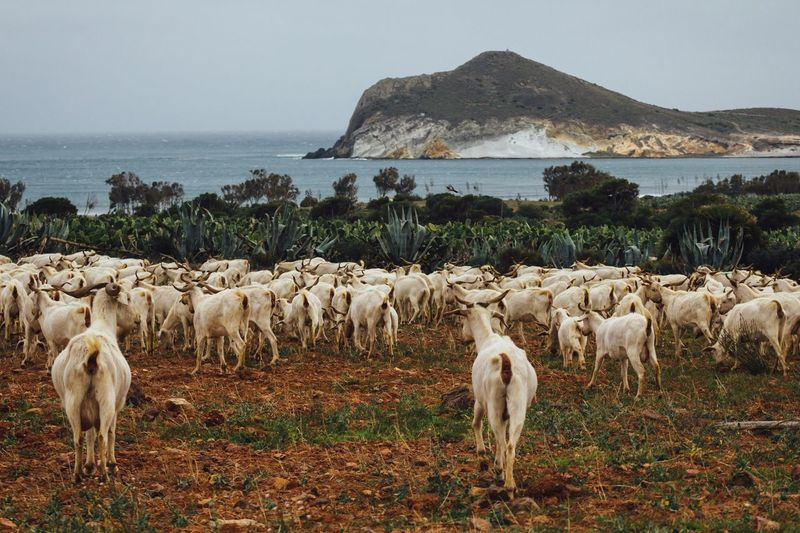 Goats on field against sea