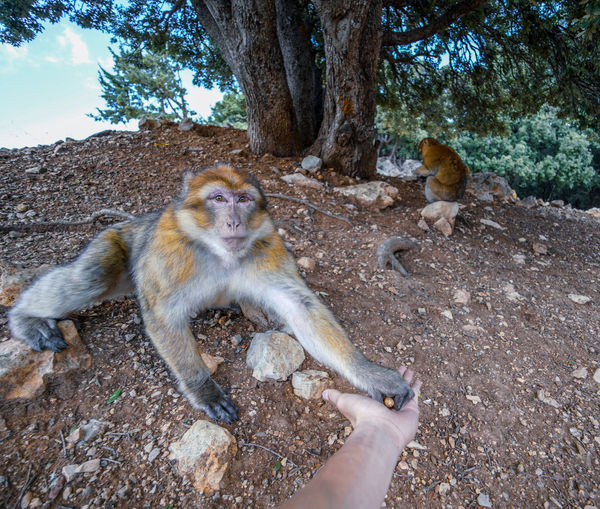 Azrou, where you can feed the Barbary macaques in the wild and contribute to the conservation of this endangered primate species. Mammal Day Vertebrate Outdoors