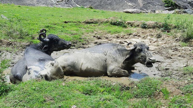 Nature On Your Doorstep Buffalos Mud Bath Green Green Green!  Water Buffalo Shrubs Greenery Greenery Mount Abu Rajasthan, India