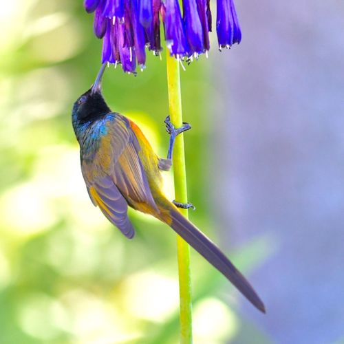 Purple Flower EyeEm Birds EyeEm Nature Lover Orange Color Orange-breasted Sunbird Animal Themes Animals In The Wild Nature Flower Focus On Foreground Beauty In Nature Perching Flower Head