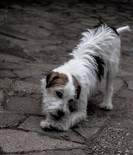 Dog Parson Russell Terrier