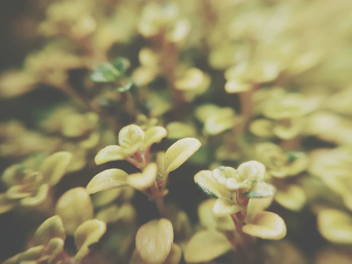 Thyme to dream Growth Nature Beauty In Nature Freshness Fragility Close-up No People Day Green Yellow Herbs And Spices Herbs Plant Photography Leaves_collection Leaves🌿 Leaves Foliage Fragrant Scented Thyme Time Thyme Plant Thyme Herb Freshness Plant