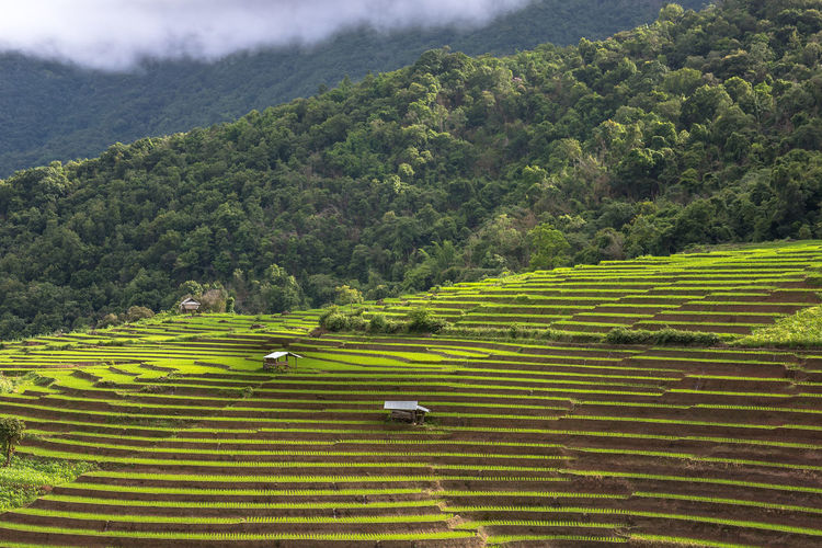 agricultural,agriculture,asia,asian,background,cottage,country,countryside,crop,culture,details,emerald,farmer,field,food,grain,green,grow,growth,hut,land,landmark,landscape,leafs,mountain,nature,organic,oriental,outdoor,paddy,park,plant,rice,scenic,sky,spring,summer,terrace,thailand,tourism,traditional,tropical,wallpaper,wooden,yellow Country Farmer Field Green Plant Rice Sky And Clouds Countryside Culture Cultures Emerald Emeraldgreen Farmers Fields Food Nature Outdoors Rice Field Rice Fields  Ricefield Sky Summer Sunset Women Wooden