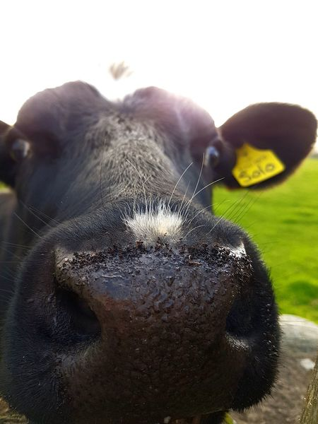 Hello! No People Animal Themes Close-up Cow Cows In A Field Nose Cow Nose Face Animal Farm Farming