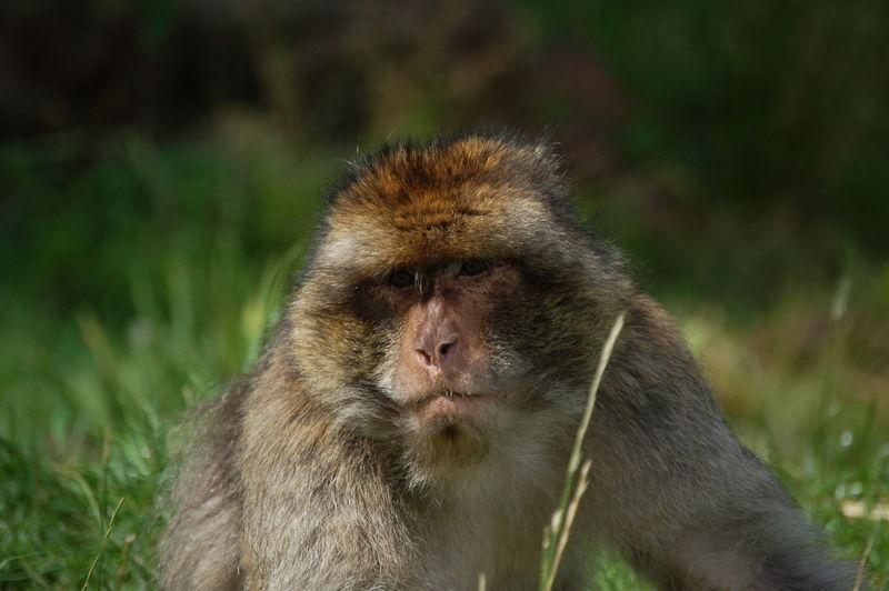 Close-up portrait of monkey on field