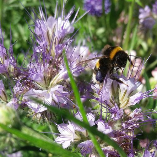 The bees in my garden ate loving my wildflower patch. Theyre going wild for this Phacelia Flower Insect Nature Purple Freshness Fragility Bee Growth Pollination Bumblebee Beauty In Nature Plant Close-up Phacelia Phacelia Tanacetipholia EyeEmNewHere