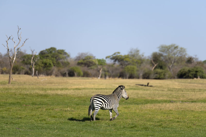 Zebra crossing in a field