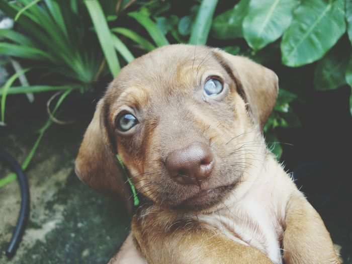 Dachshund Animal One Animal Portrait Dog Pets Looking At Camera Mammal Close-up Day Outdoors Animal Themes Domestic Animals No People Nature