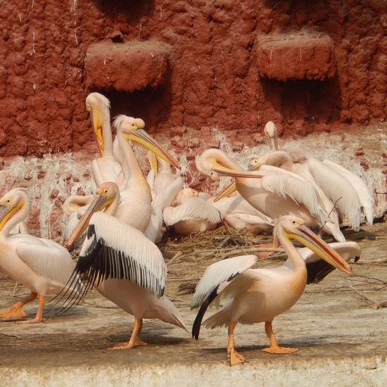 Birds Of Feather Flock Together Flock Of Birds Birds Life Free The Animals Pelicans Water Bird White Birds Standing Zoo Life