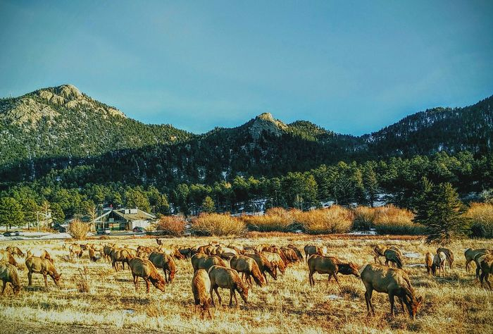 Elk Herd grazing small town life Mountain Living In Nature Nature Photography Wintertime Colorado Photography Road Trip Sunny Day late day Enjoying Life Travel Photography EyeEm Colorado Life Colorado Times Landscape sublime American Life Rocky Mountain National Park wildlife Wandering Grazing Landscapes With WhiteWall Things I Like