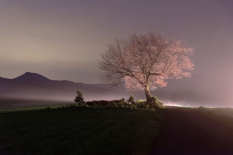One cherry tree at midnight. It is in Kumamoto prefecture of Kyushu. It is a long exposure of about 20 seconds. Cherry Blossoms A Tree Late Night Tree Nature Landscape Tranquil Scene Beauty In Nature Tranquility Bare Tree Scenics No People Field Clear Sky Outdoors Branch Sky Sunset Lone Day