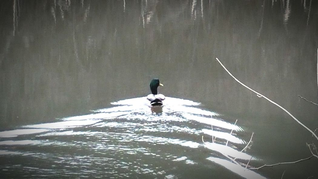 Duck Wake Pond Duckpond My Fishing Spot