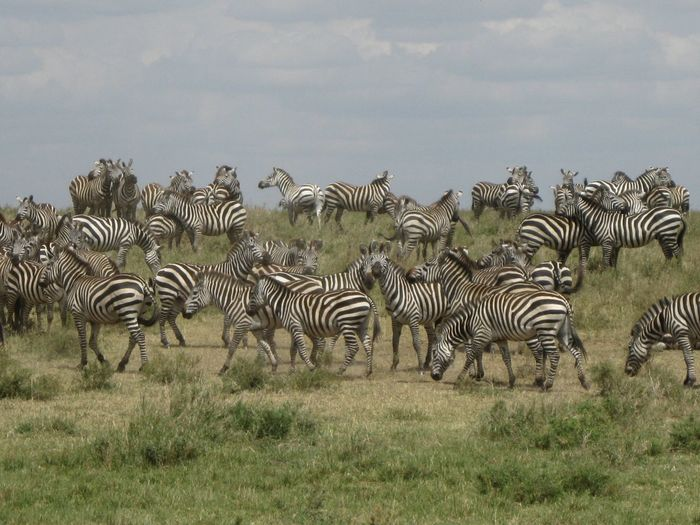 Herd Of Zebras On Grassy Field Against Sky