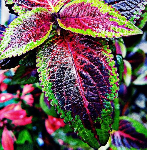 Coleus North Carolina Fall Red And Green The Week On EyeEm