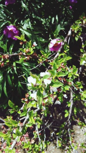 Cherry Cherry Blossoms Nature Flowers