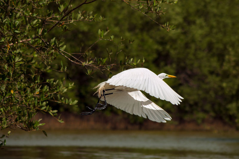 Great egret flying over lake by trees