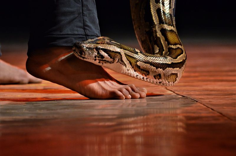 Low section of person with snake on wooden table