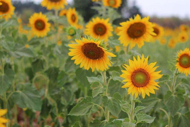 Close-Up Of Sunflowers On Flowering Plant