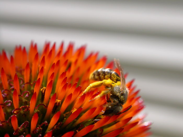 Close-Up Of Honey Bee Pollinating On Coneflower