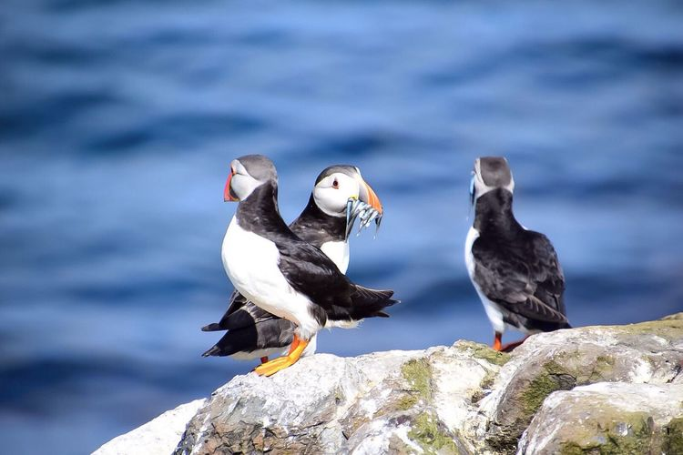 A Puffin with its fresh catch, taken on Staple island.